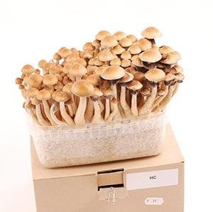 Example of a magic mushrooms grow kit