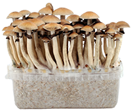Magic Mushroom Grow Kits