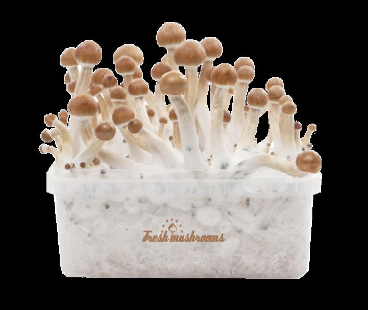 View Magic Mushroom Grow Kits