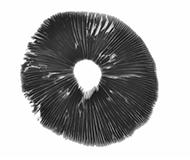 Magic mushroom spore syringes, prints and vials | Buy online