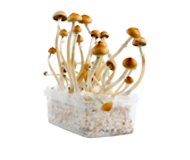 Standard Magic Mushroom Grow Kits