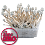 Supa Albino 100% Magic Mushroom Grow Kit