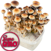 Golden Teacher Magic Mushroom Growkit