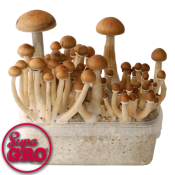 Growkit Magic Mushrooms Thai for sale