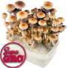 Golden Teacher | SupaGro Magic Mushroom Grow Kit