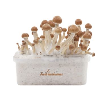 Ecuador Magic msuhroom grow kit Fresh mushroom