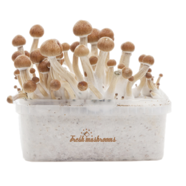 Amazonian XP Fresh Magic Mushrooms Grow Kit