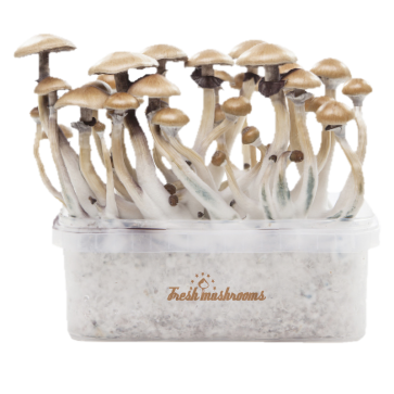 Golden Teacher XP| Fresh Magic Mushrooms Grow Kit