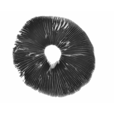 Spore print Golden Teacher psilocybe cubensis
