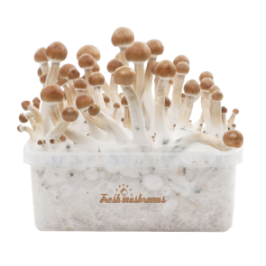 Buy FreshMushrooms® XP magic mushroom grow kits - The kit that keeps