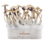 1x Golden Teacher Magic Mushroom Grow Box mit Myzel