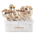 FreshMushrooms® Kit de culture McKennaii