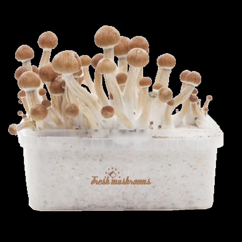 FreshMushrooms® grow kit Amazon