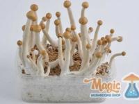 mazatapec-mexican-magic-mushrooms-flush-result