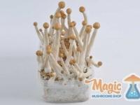 mazatapec-mexican-magic-mushrooms-side
