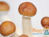 pins-mazatapec-mexican-magic-mushrooms
