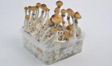 Amazonian Magic Mushrooms Grow Kit EXTRA LARGE