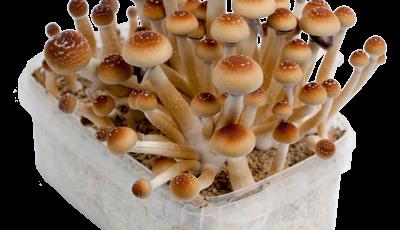 Foto's van de Orissa India magic mushroom kweekset