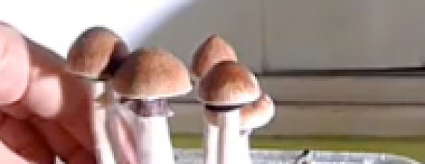 How to pick your magic mushrooms from your grow kit ?