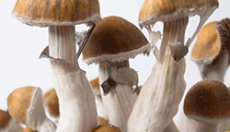 Psilocybe Cubensis - Magic Mushrooms