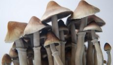 Photos of Ecuadorian magic mushrooms grow kit