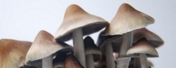 Photos of Ecuadorian magic mushrooms grow kit