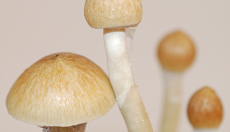 Photos of Cambodian magic mushrooms