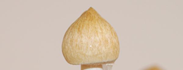 Photos of Cambodian magic mushrooms