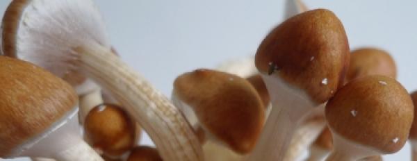 Photos of the Golden Teacher magic mushroom growkit