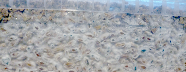 Ask Mick: There are blue spots on the substrate of my mushroom grow kit, is it contaminated?