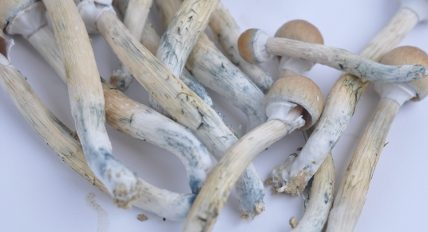 September 20th is 9/20 Day! A celebration of the role that psychedelic psilocybin mushrooms play in our society.