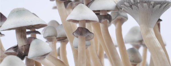 Photos of the Albino A+ magic mushroom grow kit
