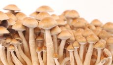Photos of the Hawaiian PES magic mushroom grow kit