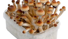 Photos of the Orissa India magic mushroom grow kit