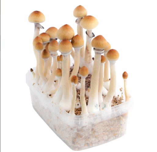 Magic Mushrooms varieties | Magic Mushrooms Shop Blog