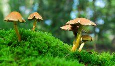 Magic Mushrooms varieties