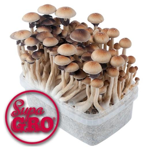 What are the strongest magic mushrooms? | Magic Mushrooms