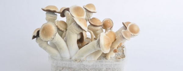 What are the strongest magic mushrooms?