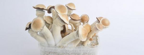 Magic Mushrooms Trip Report: Penis Envy