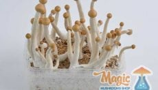 Mexican Magic Mushrooms for beginners