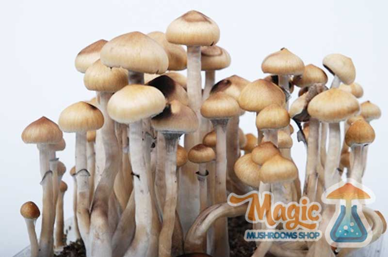 Mexican Magic Mushrooms for begginers | Magic Mushrooms Shop Blog