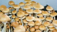 Magic Mushrooms Shop weekly ''trippy'' news digest 1.15