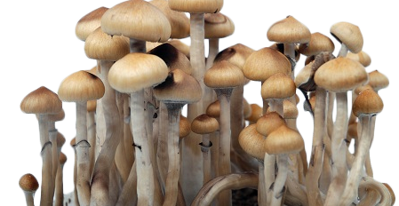 Growing Magic Mushrooms from Cubensis Spores: Q&A