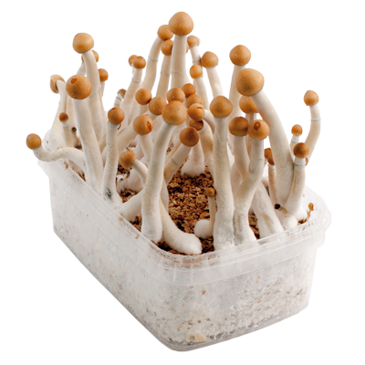 Mazatapec magic mushroom grow kit