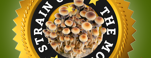 Presenting The Golden Teacher, our Magic Mushroom of the month for June.
