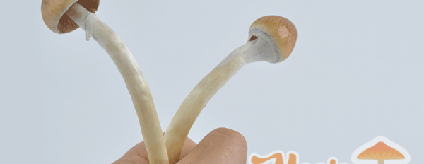 All you need to know about the B+ Magic Mushroom