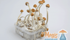 Presenting The B+, our Magic Mushroom of the month in July