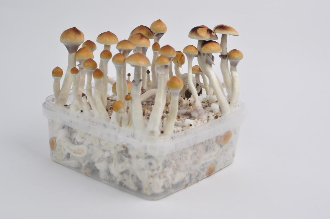 - Easy Growing of Mushrooms XL Cylocybe Special Mushroom Grow Kit Not PF Tek