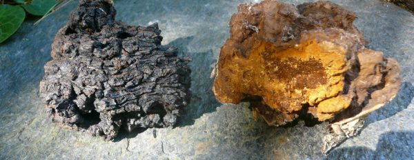 Chaga: King of Medicinal Mushrooms