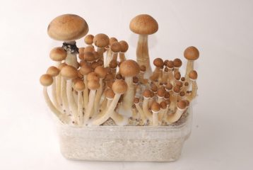 Thai 100% Magic Mushroom grow kit
